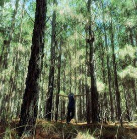Joe Man Murphy The Old Pine Tree sunshine coast music